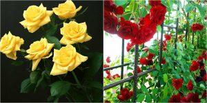 Tipos de poda según la variedad del rosal