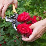 como podar rosales paso a paso