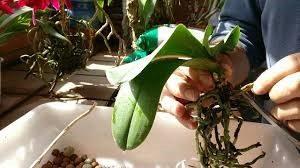 Poda de raices en una orquidea