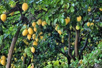 como se poda el arbol del limonero