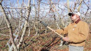 Como podar el cerezo cuando aun es joven