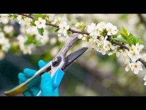 Herramientas necesarias para la poda del cerezo