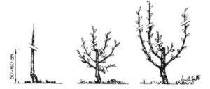 La poda de fructificacion del cerezo