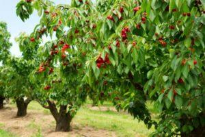 como podar un cerezo paso a paso