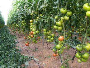 como podar tomates paso a paso