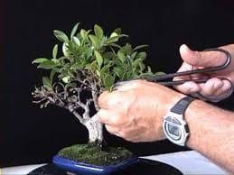 podar un bonsai paso a paso