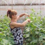 Cómo podar los pepinos paso a paso