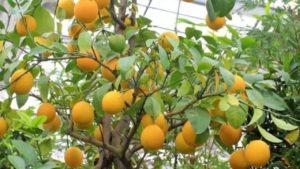 como podar un naranjo