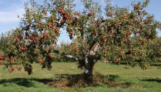 podar manzanos