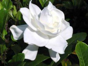 como podar gardenias