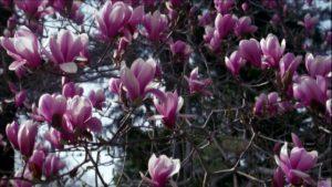 como podar magnolios