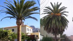 como podar palmeras