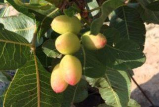 como podar pistachos