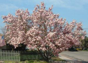 podar magnolios paso a paso