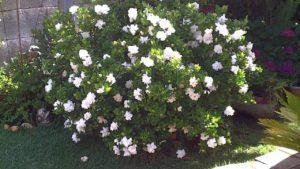 tipos de poda de las gardenias